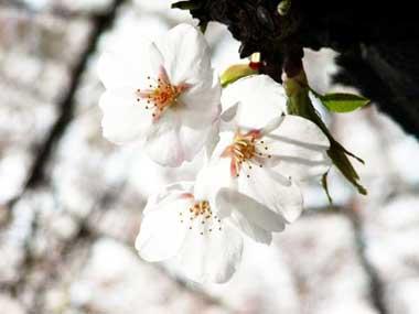 足立区の桜。見沼代親水公園緑道の桜